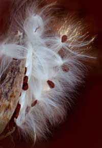 Milkweed Pod photo
